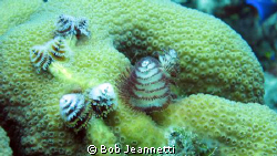 Christmas tree worms by Bob Jeannetti 